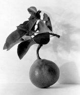 Endecott-Pear-1923.jpg